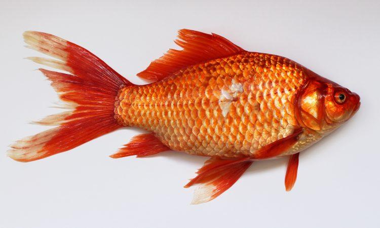 Τα ψάρια συντελούν σε καλύτερο ύπνο και υψηλότερο IQ