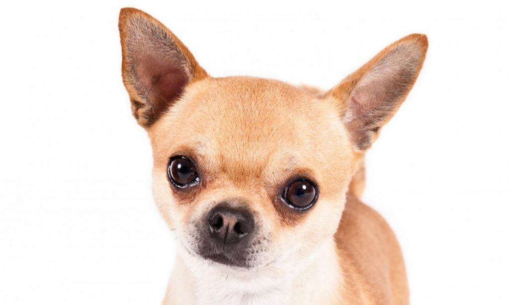 PET: Τσιουάουα: Ένας σκύλος τσέπης από το Μεξικό